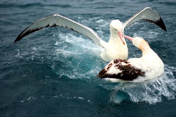 Wandering Albatross squabbling